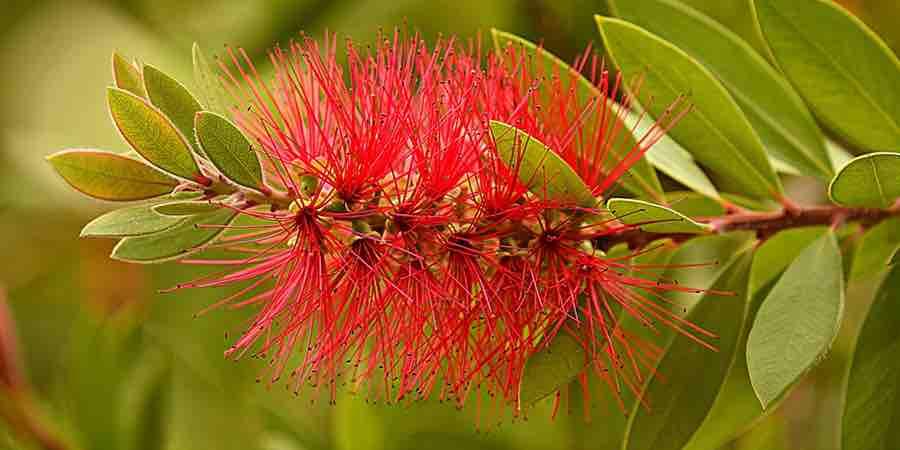 Jardin mediterraneo. Arbustos de clima mediterraneo. Callistemos australianos.Plantas aromáticas mediterráneas. arboles clima mediterráneo, jardin mediterráneo fotos, arboles jardin mediterráneo