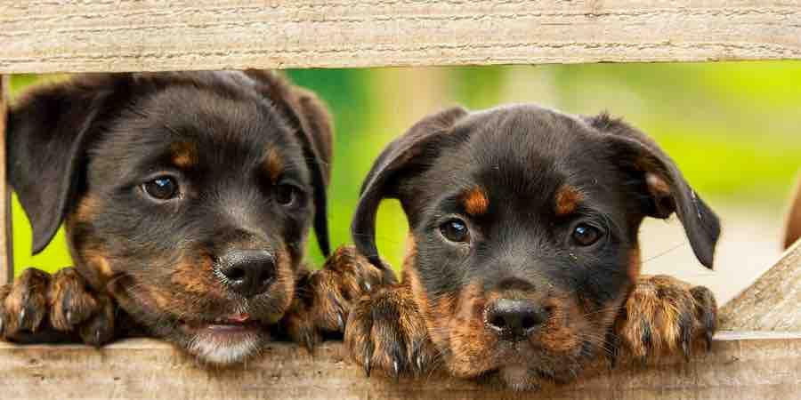 Procesionaria perros